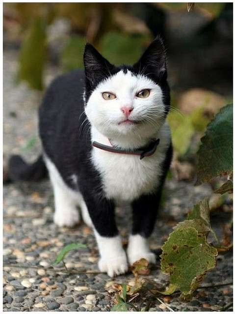 前髪模様のある猫の画像ください