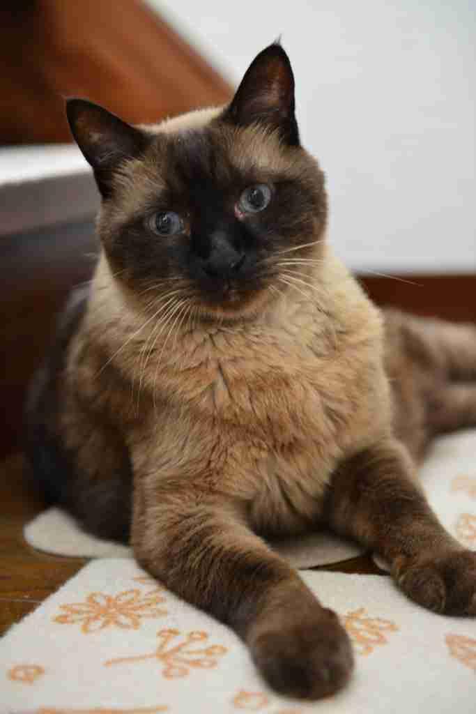 シャム猫が好きな人〜!