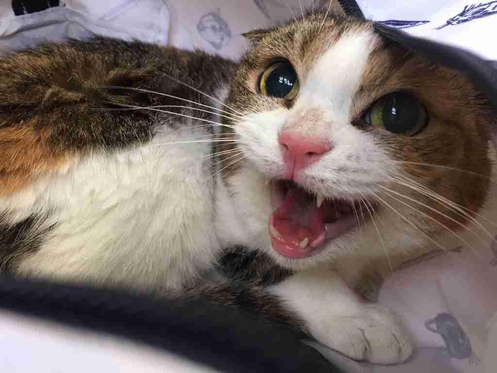 ハチワレ猫が好き