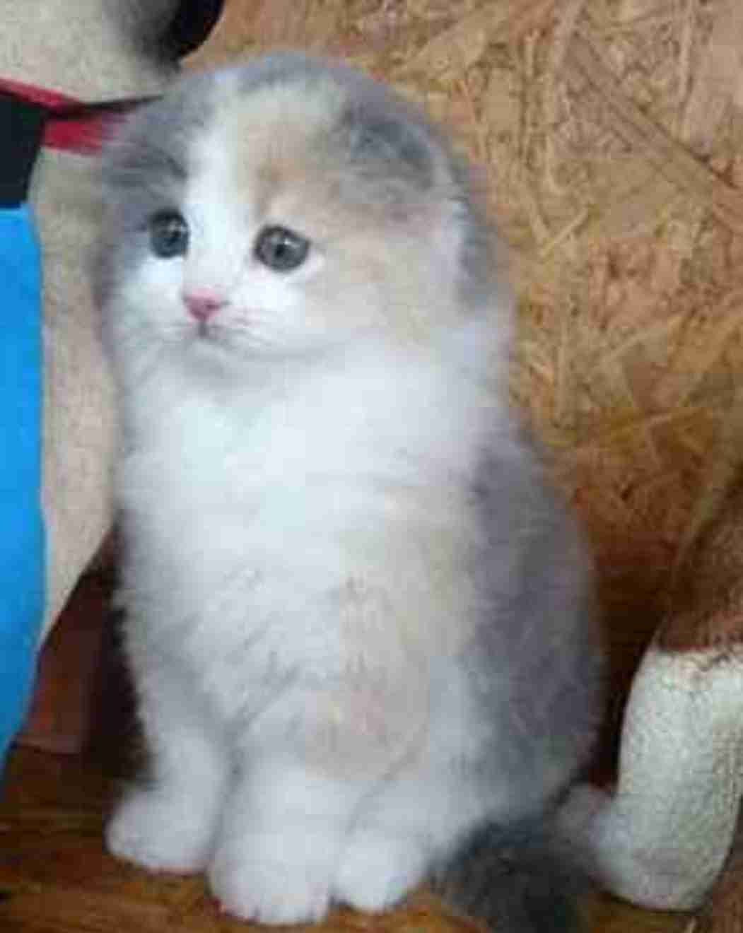 三毛猫が大好きな人!