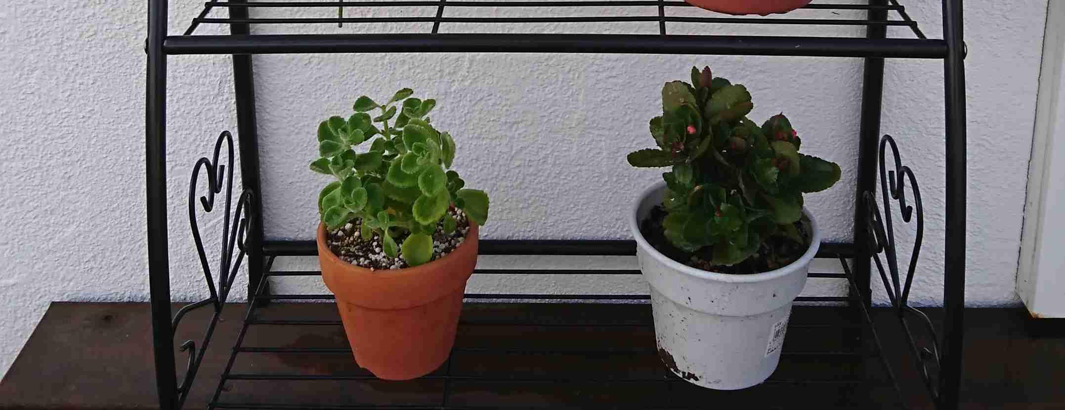 オススメの観葉植物