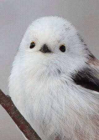 【鳥】シマエナガを愛でるトピ