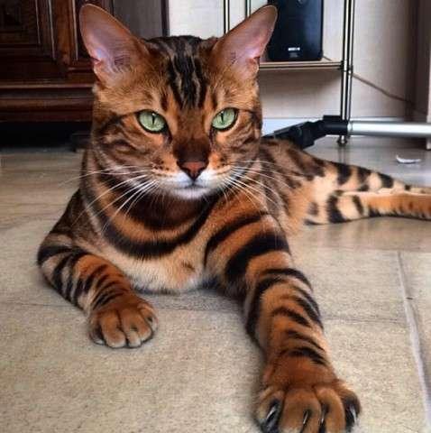 米テキサス州で拾った子猫が凶暴化、実は野生のヤマネコ