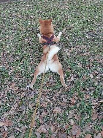 だって柴だもん!可愛いんだから仕方ない。柴犬たちをたっぷり堪能する写真集