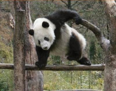 パンダ目撃退法!