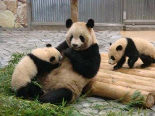 上野動物園のシャンシャン、見に行った事ある人