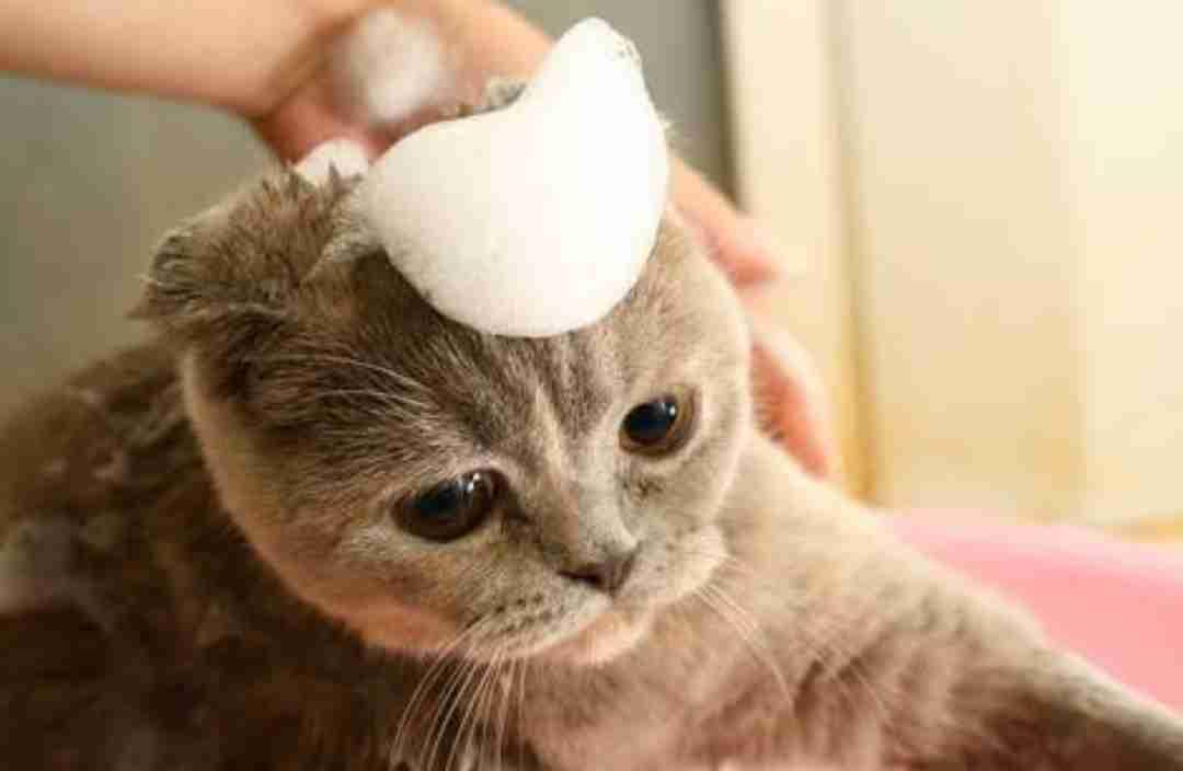 猫のシャンプーの頻度