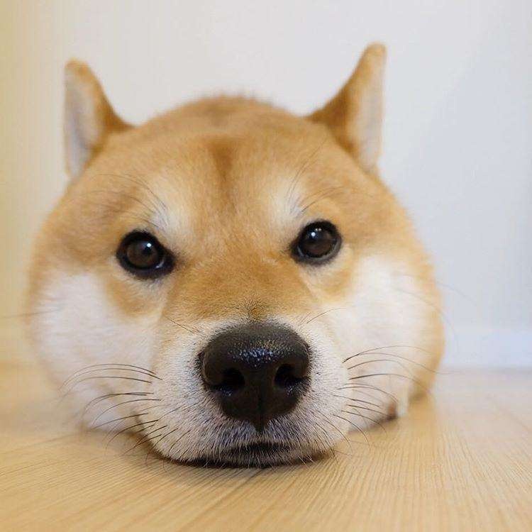 柴犬に癒されたい