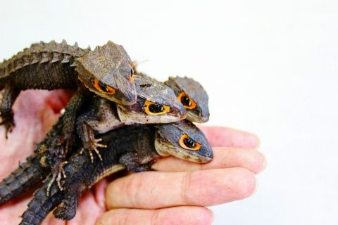 【苦手な人注意】爬虫類飼っている方