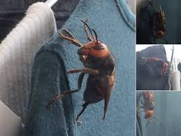 猛暑の日本列島でスズメバチが大発生! 巨大な巣が各地でゴロゴロ、気をつけて!