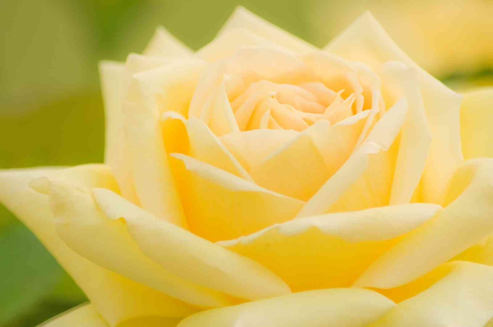 いろんな薔薇の花が見たい♪