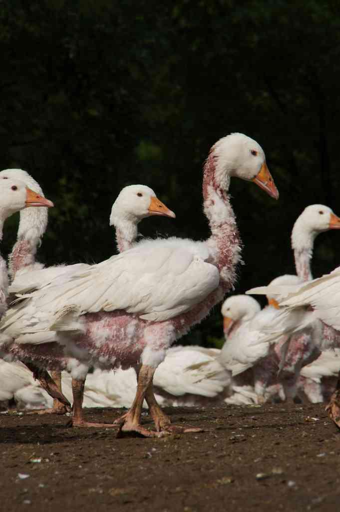 鳥虐待 ダウン|動物の解放