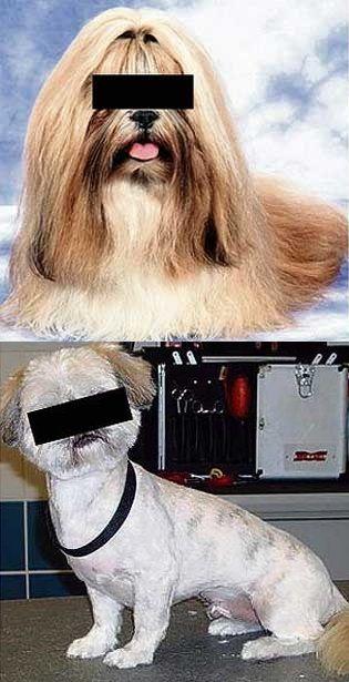 嫉妬したイギリスの男、腹いせに彼女の愛犬を丸刈りにする