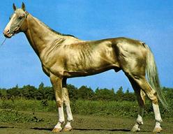 """黄金に輝く世界で最も美しい馬""""アハルテケ(Akhal-Teke)"""" «  Merx"""