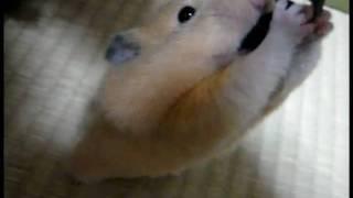 何でも食べたがるキンクマハムスター - YouTube