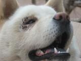 レコードチャイナ:<08年中国ニュース・動物編7>ペット整形が流行、虐待との批...
