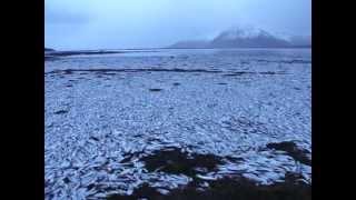 Mass mortality of herring in Kolgrafafjordur, W-Iceland, 2 Feb 2013 - YouTube