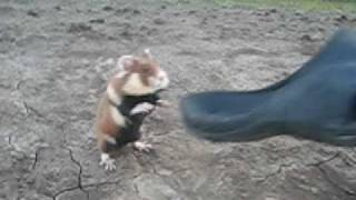Evil Hamster - YouTube