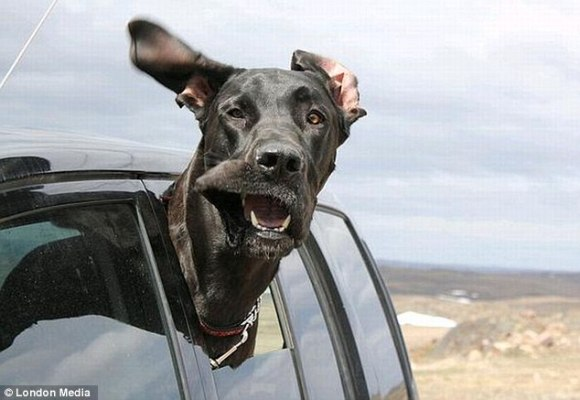かぜ気持ちいいーーッ! 車の窓から顔を出し風を感じまくるワンコたちが超ブサカワでたまらん!! | ロケットニュース24