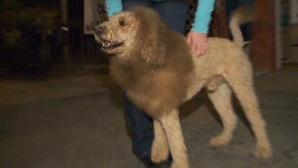 おかめch : 小さなライオンが街に出現、警察に通報…実はライオンカットの犬でした