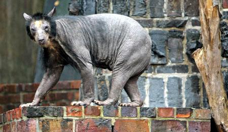 毛のないヒヒがおそろしいと海外で話題に