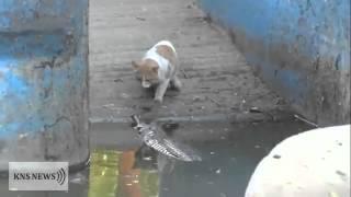 INCREDIBLE battle cat Vs crocodile - YouTube