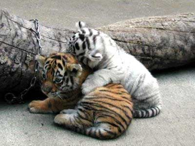 中国で密輸されたちっちゃいトラが発見される