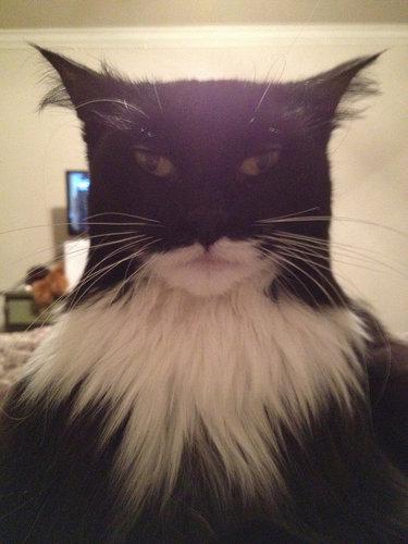 今までこんなにバットマンそっくりの猫は見たことがないwww