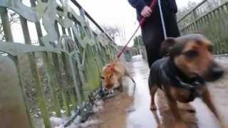 The fox and hound! Rescued Roxy becomes best pals with dogs at animal sanctuary - YouTube