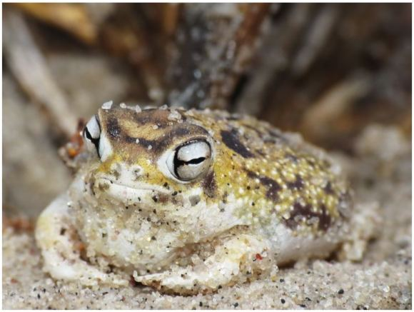 【爬虫類系苦手な方は閲覧微注意】なんだこの鳴き声!史上最強に可愛いと話題のカエルさんをご覧ください。