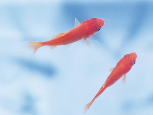 アメリカの湖で巨大化した金魚がハンパない!