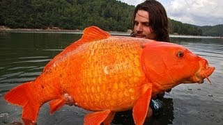 Monster Goldfish Breeding in Lake Tahoe - YouTube