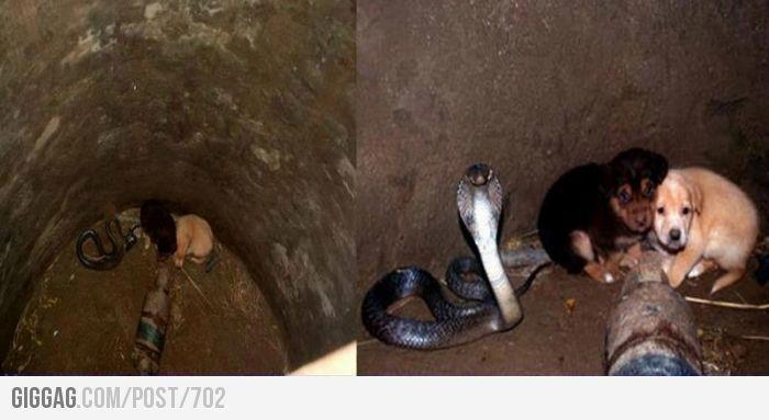 井戸に落ちてしまった二匹の子犬を毒ヘビのキングコブラが深い部分に落ちないように48時間も見守る。