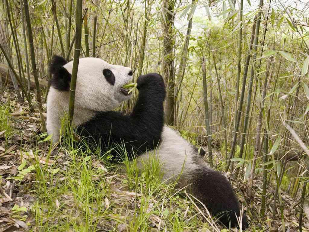 野生パンダが村に侵入、仔ヒツジを盗み食い…四川省