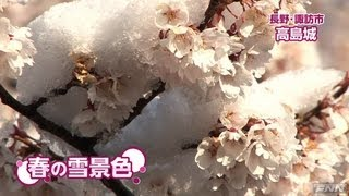 長野・諏訪市の高島城で、見頃の桜に雪が積もりました。(13/04/11) - YouTube