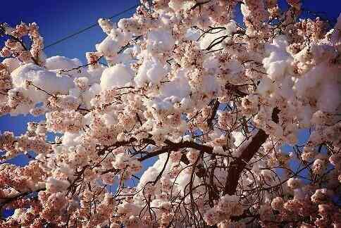 長野県松本市で雪が積もり、雪と桜のコラボが綺麗すぎてヤバイ!