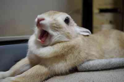 ウサギのあくび顔がブサかわいい