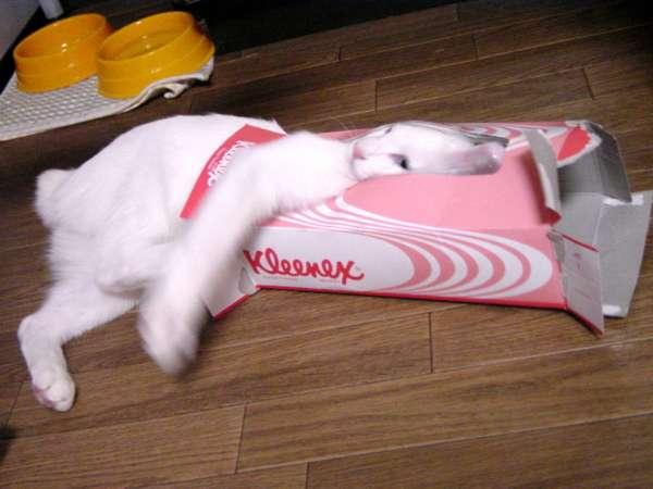 【箱×ネコ】ワイルドなベンガルネコも箱が好き! 鋭い牙をむき出しにして無邪気に遊ぶよ♪