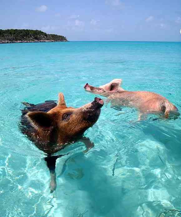 波と戯れるブタが見れるよ!野生のブタが生息するバハマの楽園、その名も「豚ビーチ」 | Pouch[ポーチ]