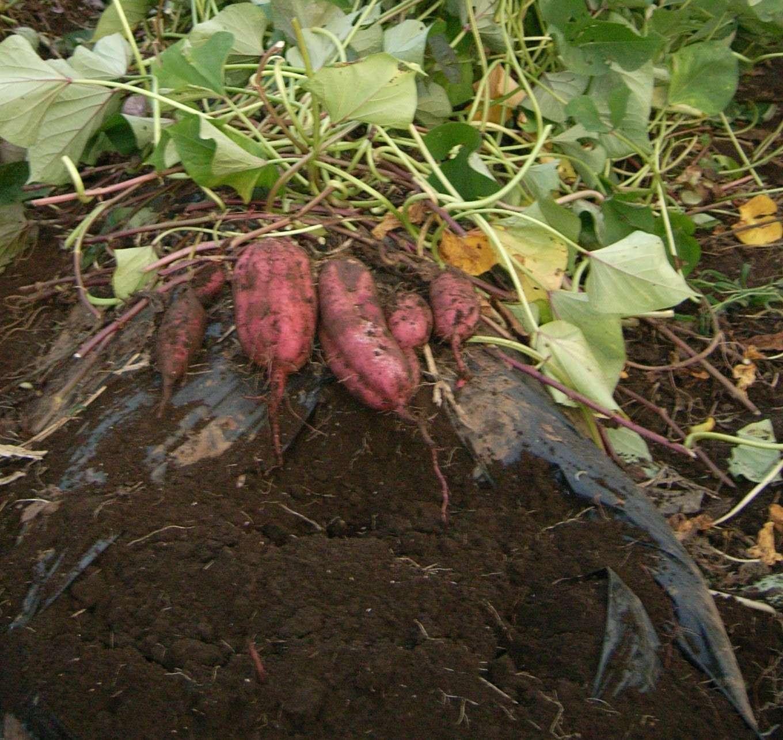【恐怖】最近の小学校のイモ掘り教室では、こんなクレームが入るらしい…