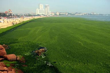中国近海で藻が大発生、過去最大規模 写真8枚 国際ニュース : AFPBB News