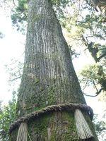 ご神木テロリストが存在する 10年で25本のご神木が被害 - NAVER まとめ