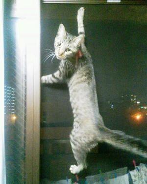 壁をのぼりまくる猫【ガリガリ】 - NAVER まとめ