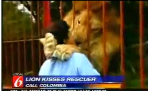 【動画】ライオンの子供を保護した女性、預けた動物園で数年ぶりに再開し…