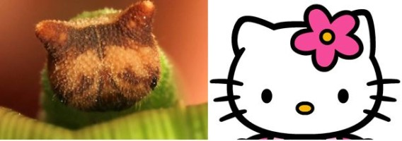 【閲覧注意】猫顔のイモムシだと?キティそっくりな顔をもつヒメジャノメの幼虫!