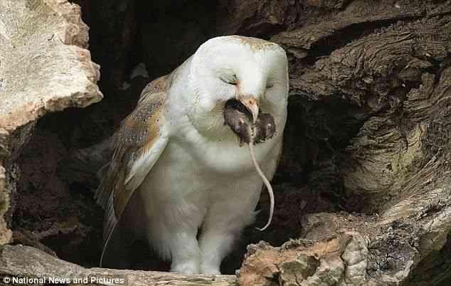 【閲覧注意】ネズミを捕食するフクロウさんが邪悪すぎると話題に