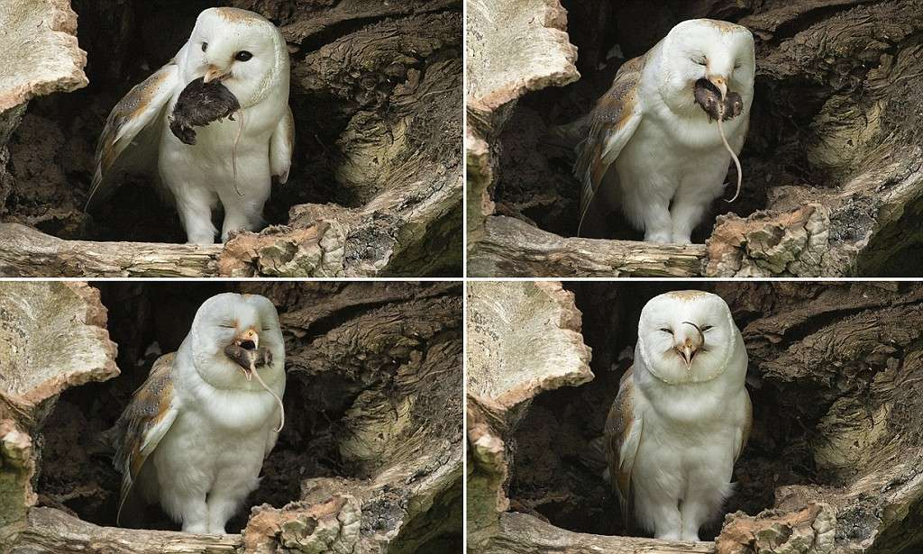 Barn owl enjoys a spot of dinner - right down to the mouse's TAIL  | Mail Online