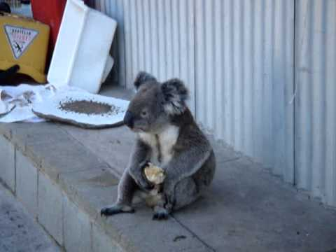 Sensation - Koala eating an apple! - YouTube