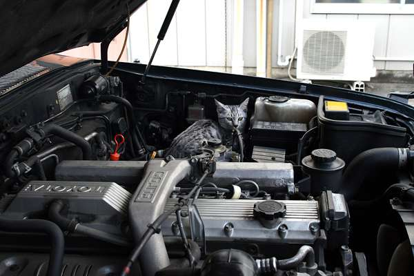 JAFが恐ろしい警告 「ネコがエンジンルームに入りたがる季節です。エンジンをかけた途端!」