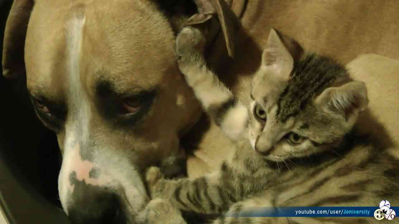 Pitbull VS Kitten (Real Love Real Fights) - YouTube